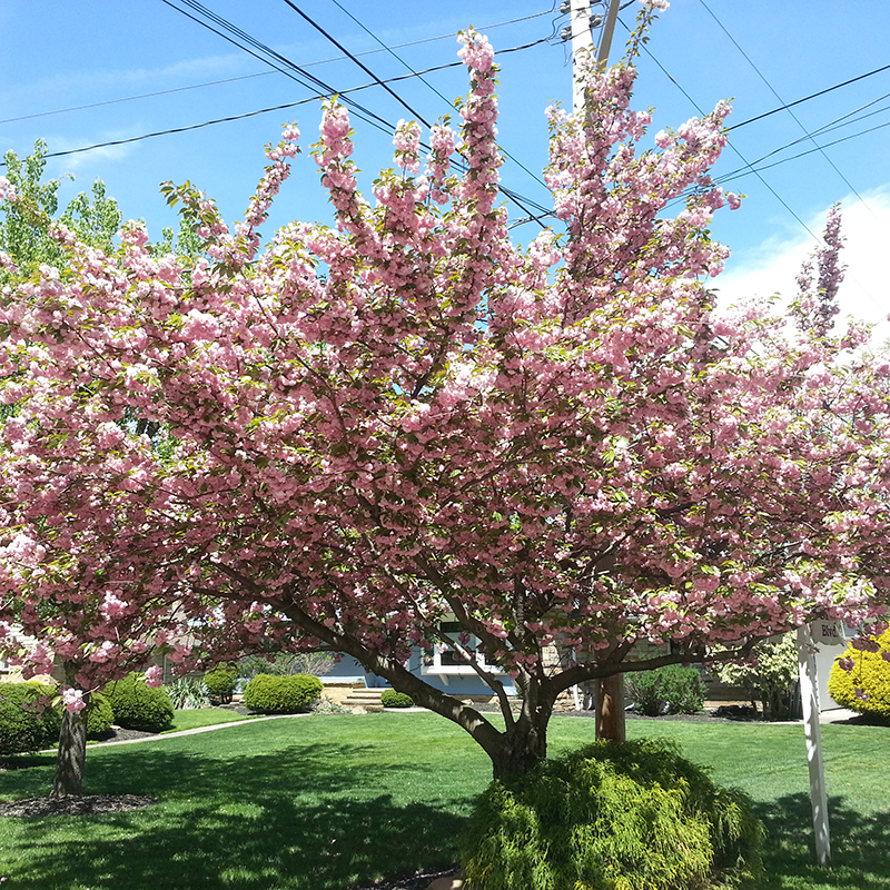 Products Are Subject To Availability Prunus S Kwanzan Cherry Tree