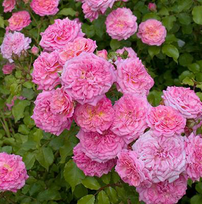 Rosa 'Sweet Drift'