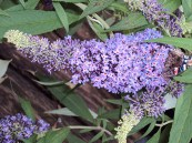Buddleia English Butterfly. 'Purple Emperor' PW