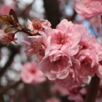 Prunus' Pink Double Flowering' Tree