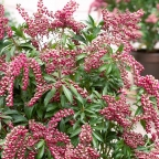 Pieris 'Passion Frost'