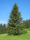 Picea 'Norway Spruce'