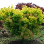 Cotinus 'Golden Spirit?'