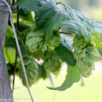 Humulus l. 'Summer Shandy' PW