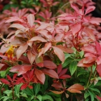 Pieris 'Mount Fire'
