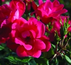 Rosa 'Knock Out Red'