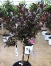 Weigela 'Alexandra Wine & Rose?' Tree PW
