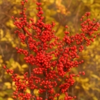 Ilex 'Berry Heavy?' PW