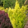 Berberis 'Sunjoy?' Gold Pillar PW