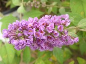 Buddleia Lo & Behold 'Lilac Chip' PW