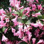 Weigela f. 'Java Red'