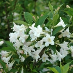 Weigela 'White Knight'