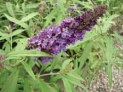 Buddleia English Butterfly 'Adonis Blue' PW