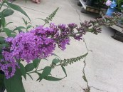 Buddleia English Butterfly .' Peacock' PW