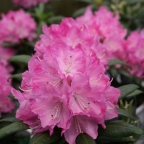 Rhododendron 'Dandy Man' Pink ? PW