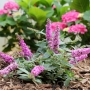 Buddleia 'Lo & Behold' Pink Micro Chip PW