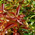 Weigela 'Wings of Fire'