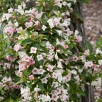 Weigela f. 'Sonic Bloom?' Pearl PW