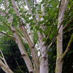 Betula 'Jacquemontii Birch' Tree
