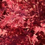 Acer pal. 'Fire Glow'