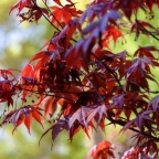 Acer pal. 'Bloodgood'