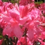 Azalea dec. 'Rosey Lights'