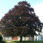 Fagus Beech 'Riversii' Tree
